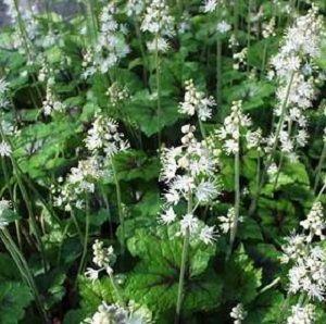 Tiarella cordifolia 'Brandywine' (foamflower)