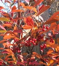 Aronia arbutifolia / Photinia pyrifolia (red chokeberry)