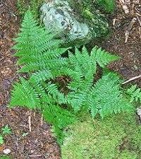 Dryopteris intermedia (evergreen wood fern)
