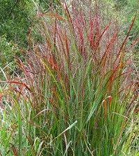 Panicum virgatum 'Shenandoah' (switchgrass)