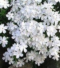 Phlox subulata 'Snowflake' (creeping phlox)