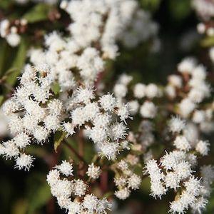 Eupatorium rugosum 'Chocolate' / Ageratina altissima 'Chocolate' (chocolate boneset)