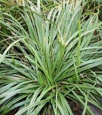 Carex amphibola (creek sedge)