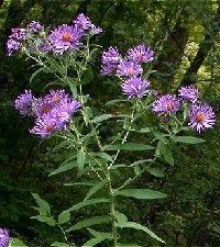 Aster (Symphyotrichum) novae-angliae (New England aster)
