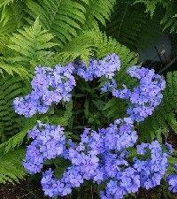 Phlox divaricata 'Blue Moon' (woodland phlox)