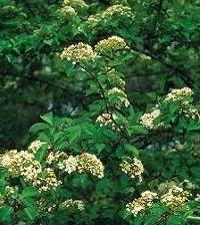 Viburnum prunifolium (blackhaw viburnum)