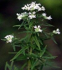 Pycnanthemum virginianum (Virginia mountain mint)