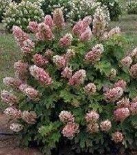 Hydrangea quercifolia 'Ruby Slippers' (dwarf oakleaf hydrangea)
