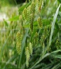 Chasmanthium latifolium (wood oats)