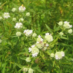 Pycnanthemum tenuifolium (narrowleaf mountain mint)