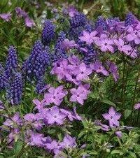 Phlox stolonifera 'Sherwood Purple' (creeping phlox)