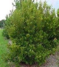 Morella cerifera (southern wax myrtle)