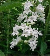 Penstemon digitalis (beardtongue)