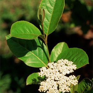 Viburnum nudum  (smooth witherod viburnum)