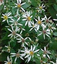 Aster (Eurybia) divaricatus 'Eastern Star' (white wood aster)