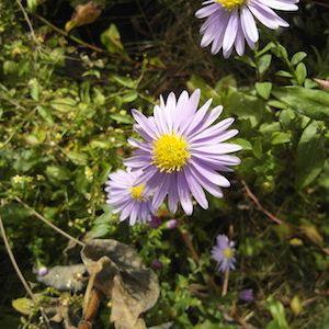 Symphyotrichum novi-belgii (New York aster)
