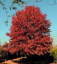 Quercus rubra (red oak)