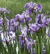 Iris versicolor (northern blue flag iris)