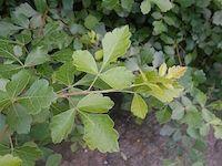 Rhus aromatica (fragrant sumac)