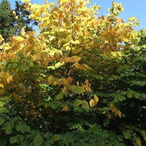 Cladrastis kentukea (American yellowwood)