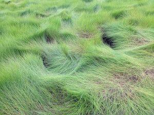 Spartina patens (saltmeadow cordgrass)