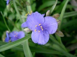 Tradescantia ohiensis (Ohio spiderwort)