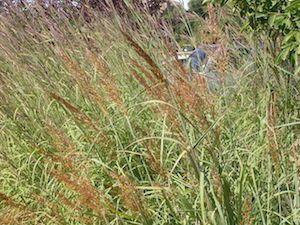 Sorghastrum nutans 'Indian Steel' (Indian grass)