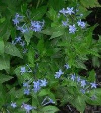 Amsonia tabernaemontana 'Blue Ice' (eastern blue star)