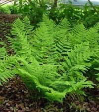 Dryopteris marginalis (eastern wood fern)