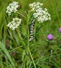 Asclepias verticillata (whorled milkweed)