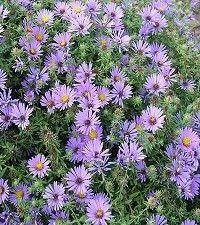 Aster (Symphyotrichum) oblongifolium 'October Skies' (aromatic aster)