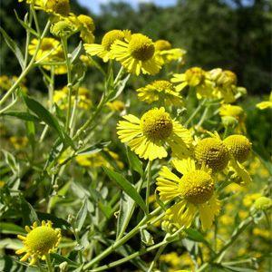 Helenium autumnale (yellow sneezeweed)