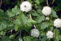 Physocarpus opulifolius (ninebark)