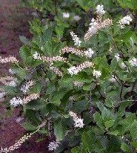 Clethra alnifolia (summersweet)