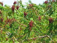 Rhus copallinum (shining sumac)