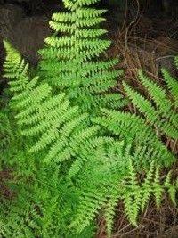 Dennstaedtia punctilobula (hay-scented fern)