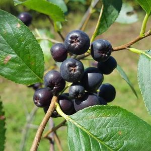 Aronia (Photinia) melanocarpa (black chokeberry)