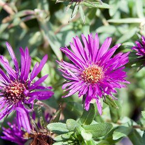 Aster (Symphyotrichum) novae-angliae 'Purple Dome' (New England aster)