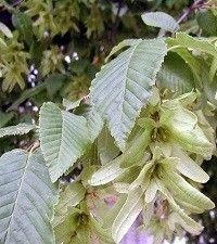 Carpinus caroliniana (ironwood)