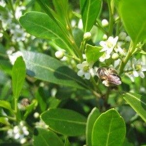 Ilex glabra 'Densa' (inkberry)