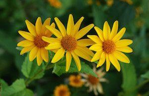Heliopsis helianthoides (ox eye sunflower)