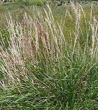 Andropogon virginicus (broomsedge)