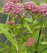Asclepias incarnata (swamp milkweed)
