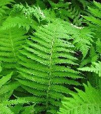 Thelypteris noveboracensis (New York fern)