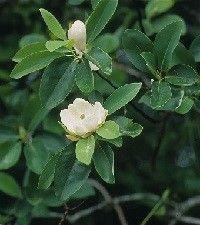 Magnolia virginiana (sweetbay magnolia)