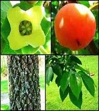 Diospyros virginiana (American persimmon)