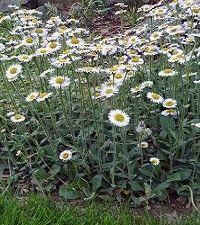 Erigeron pulchellus 'Lynnhaven Carpet' (fleabane daisy)