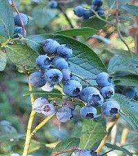 Vaccinium coryumbosum (northern highbush blueberry)