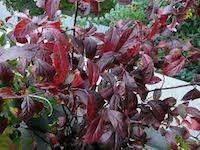 Itea virginica 'Henry's Garnet' (sweetspire)