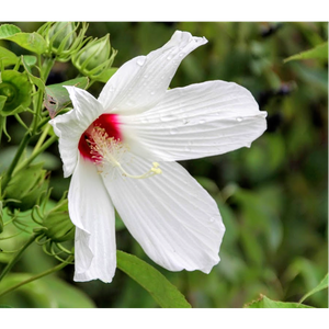 Featured Native Plants Available for Order - July 31